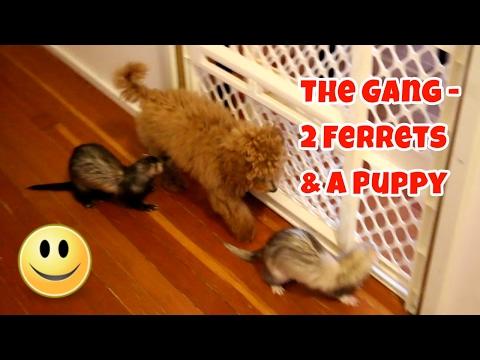 The Gang: 2 Ferrets & A Puppy - Cute Animals Inside 4 - VOL. 55