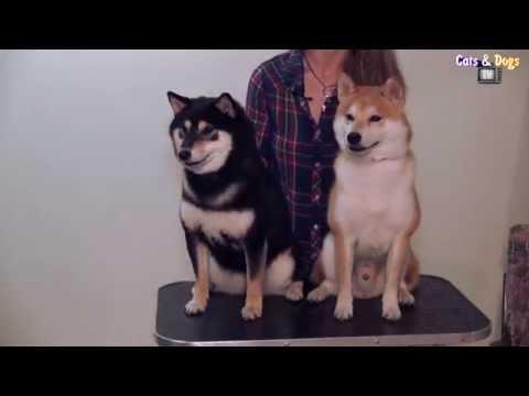 Cats&DogsTV -УДИВИТЕЛЬНЫЙ МИР СОБАК - СИБА-ИНУ ИЗ ЯПОНИИ / SHIBA-INU FROM JAPAN