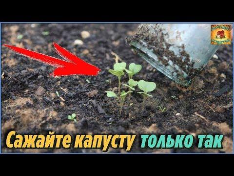 Основные правила высадки капустной рассады в открытый грунт. Как посеять капусту правильно