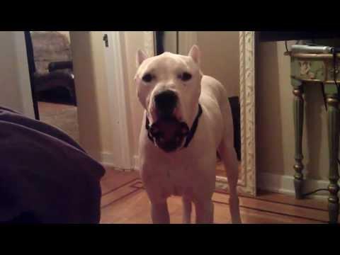 Macho the Dogo Argentino is upset and yelling!