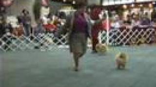 The 2008 Pomeranian National Specialty Dog Show