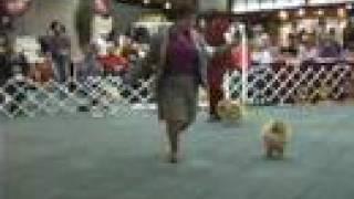 The 2008 Pomeranian National Specialty Dog Show