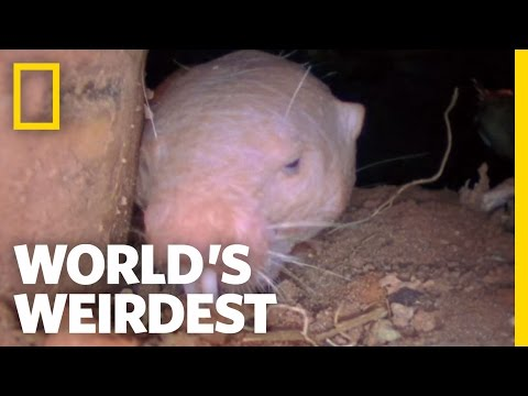 Naked Mole Rats | World's Weirdest