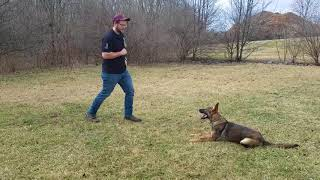 Indy off leash OB training