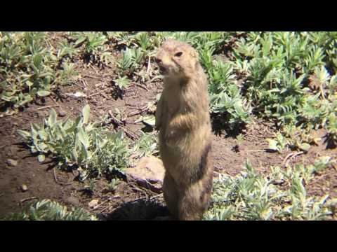 Prairie Dog Alarm Call Compilation