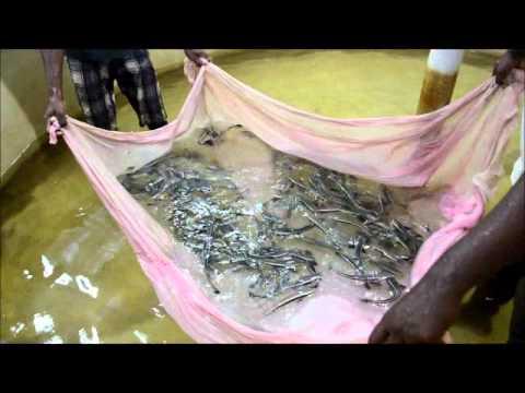 Cobia Fish: A Breakthrough