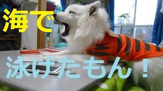 dog lifeTv12話 日本スピッツ(サンゴ)高知の海で大暴れご覧ください...