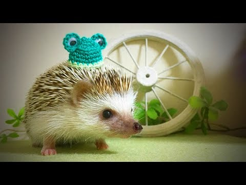 Funny Hedgehogs 🦔🦔 Cute and Funny Hedgehog (Full) [Funny Pets]