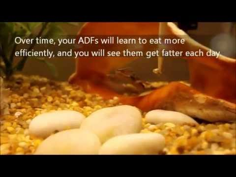 African Dwarf Frog: How To Feed African Dwarf Frogs (ADFs)