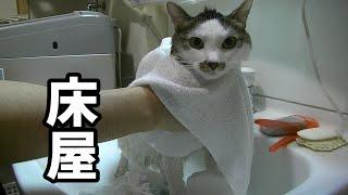 置物猫をシャンプー後タオルドライしてたら床屋っぽくなった