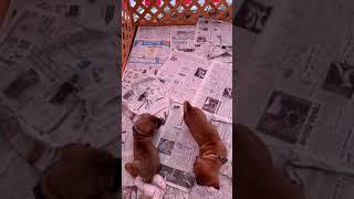 生後50日の土佐犬の仔犬(*⁰▿⁰*) 超かわいいけど…闘犬の本能はあるみたい。