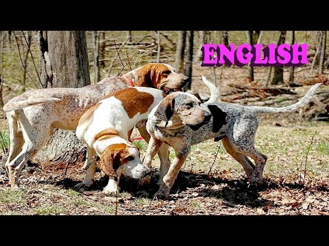 Everything about American English Coonhound in English