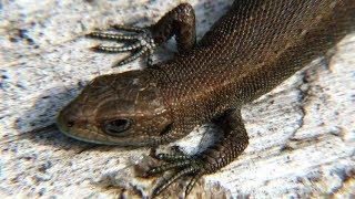 Ящерица живородящая, лесные ящерицы, Viviparous lizard