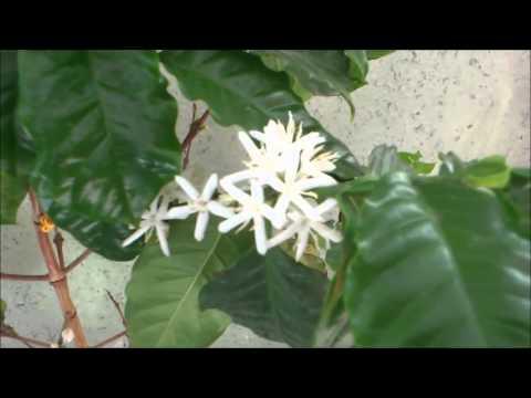 как расцветают цветы у дерева кофе!