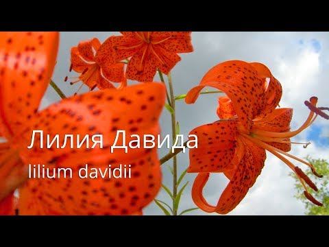 Лилия Давида | Lilium davidii