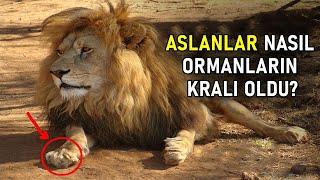 Allah Neden Aslanı Orman Kralı Yaptı ? Aslanlar Seni Şok Edecek.
