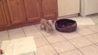 Puppies Playing.  English Bulldog. Indiana