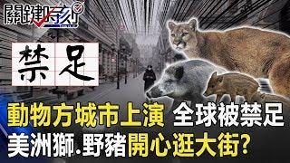 動物方城市真實上演!全球30億人被禁足 美洲獅、野豬開心逛大街!?【關鍵時刻】20200402-2劉寶傑 李正皓 陳耀寬 黃世聰
