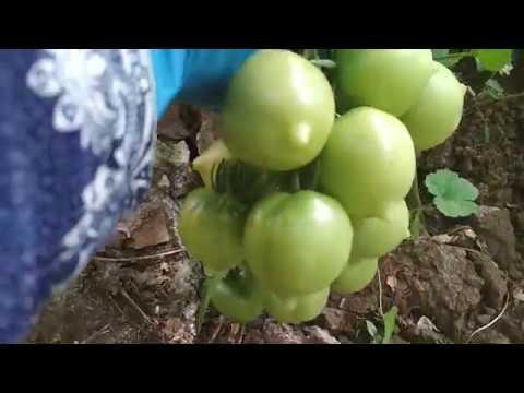 Помидоры Урожай в Теплице!!!8 авг Сибирь18г