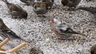 Leucistic Common Redpoll