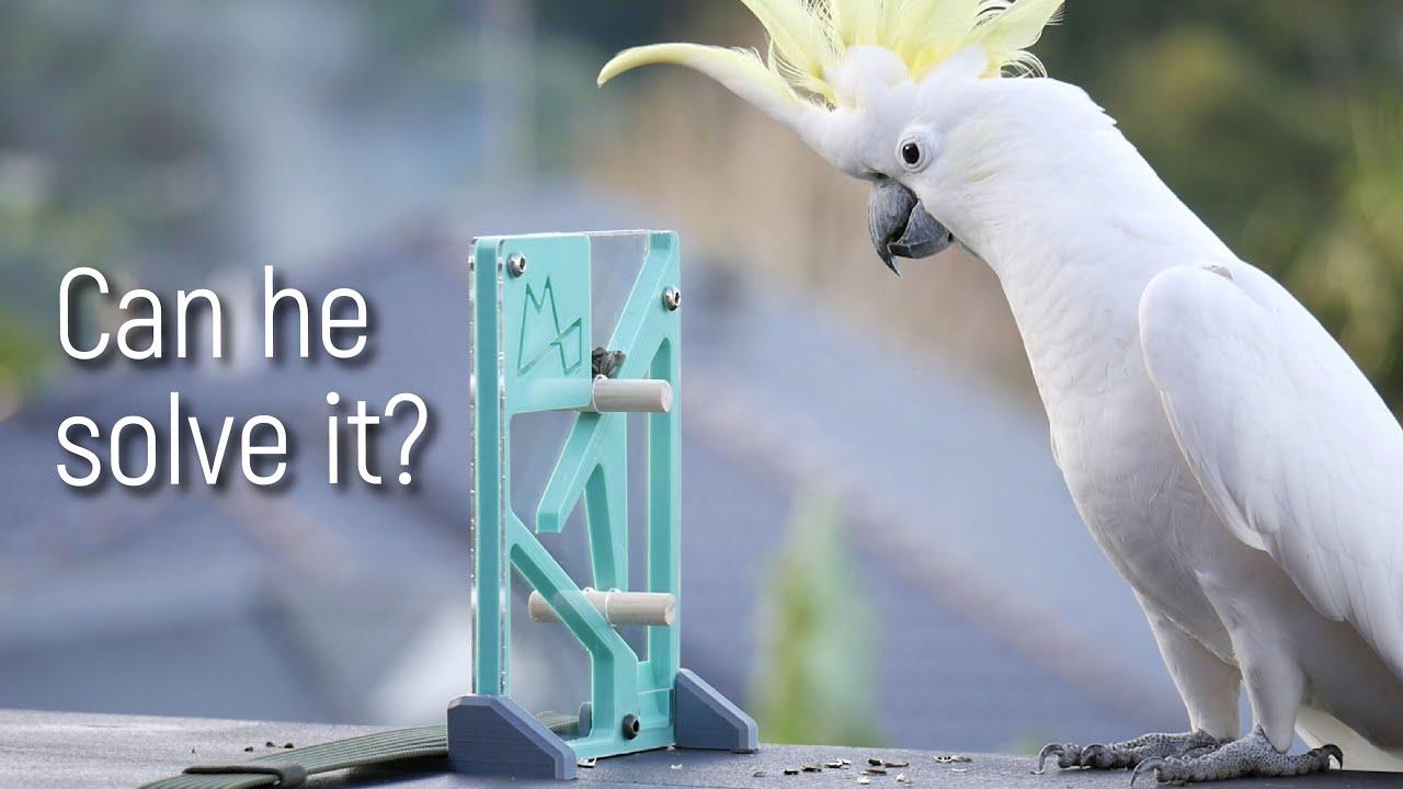 Can Wild Parrots Solve Puzzles?