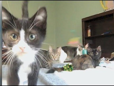 Big Kittens Hissing and Spitting At Little Kittens - #25 - Kitten Integration Fail