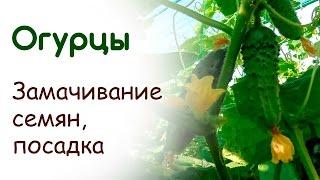 видео Как замачивать и подготовка семена огурцов перед посадкой как правильно и нужноли