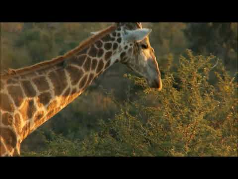 wild animal - Giraffe video