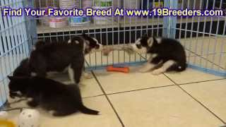 Siberian Husky, Puppies, For, Sale, In, New Orleans, Louisiana, La, Jefferson, Bayou Blue, Moss Bluf