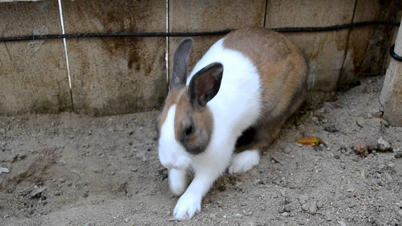 caramel dutch rabbit has fun in the backyard youtube