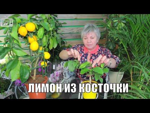 Авокадо. Уход и выращивание в домашних условиях. Как