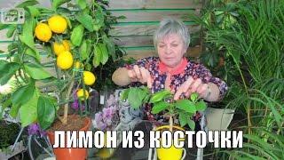 Комнатный лимон ✿ как вырастить из косточки? «Часть 1»(Комнатный лимон - как вырастить из косточки плодоносящее растение? ❀ Подробнее о комнатных растениях:..., 2016-12-18T16:56:23.000Z)