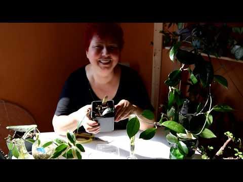 Hoya (Mum Çiçeği) Çelik alımı/Üretimi/Köklendirmesi