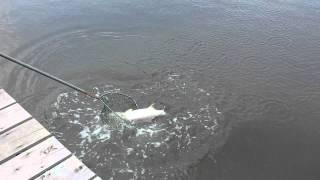 Video 10 kg KBL landed @ Barelang fishing pond download MP3, 3GP, MP4, WEBM, AVI, FLV Agustus 2018
