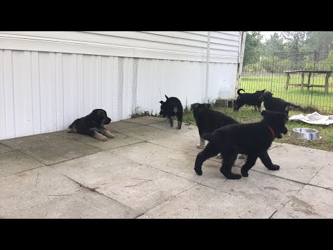 German Shepherd Puppy GSD Puppies For Sale