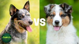 Blue Heeler vs  Australian Shepherd | Australian Cattle Dog vs  Australian Shepherd