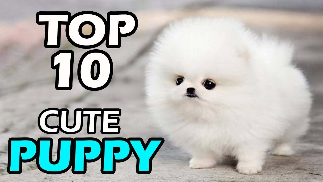TOP 10 CUTE PUPPY BREEDS - YouTube