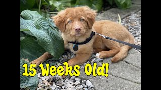 15 Weeks Old Nova Scotia Duck Tolling Retriever CAN CLIMB STAIRS