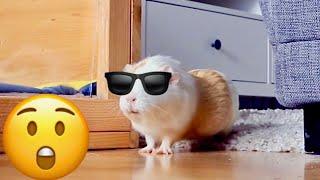Guinea Pig Floor Time Vlog | Guinea Pigs Escape | Minnie's Wheek