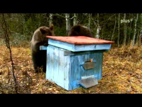 Weßrussische Bärenkinder überfallen Bienenstock