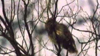 近所の林にやってきたフクロウが大きな声で鳴いていました。