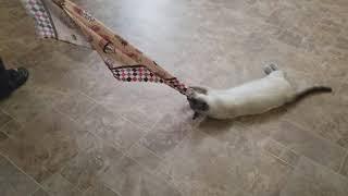Кошка вместо тряпки. Просто поржать.