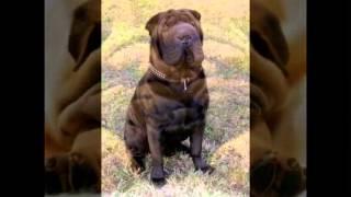 Смешные собаки и щенки породы Шарпеи