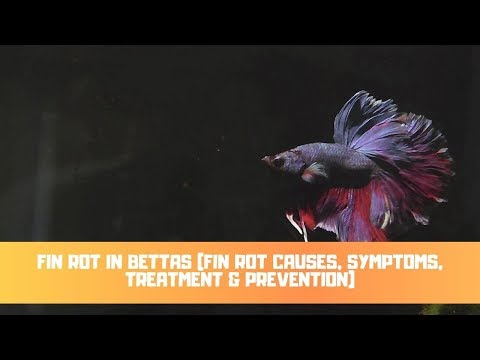 Fin Rot In Bettas (Fin Rot Causes, Symptoms, Treatment & Prevention)