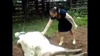 Cow Kicks Woman In The Face After Giving Birth To Calf!