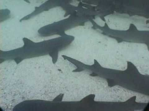 Galapagos Islands Under Siege Of Illegal Shark Finning