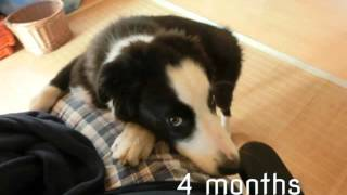 Border Collie growing up