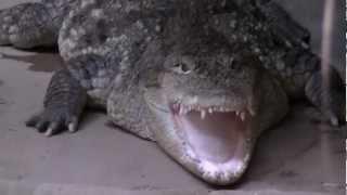 Wrocław Zoo, Poland. Crocodiles / Krokodyle.