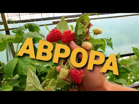 #Аврора - ремонтантный сорт малины с крупной ягодой. НОВИНКА 2020Г. Очень перспективный сорт малины.
