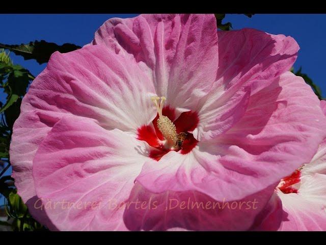 Blüten winterhart große hibiskus Hibiskus überwintern: